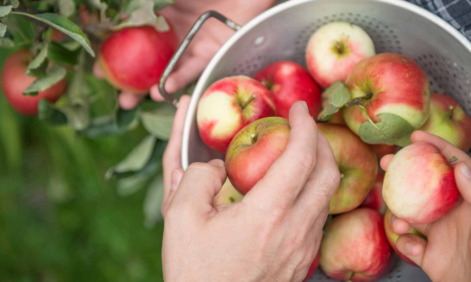 Hands picking red apples and putting them in a bucket